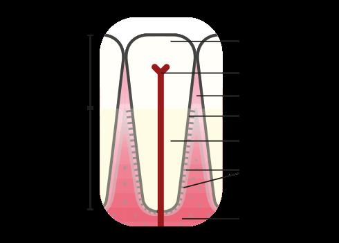 Gingivitt - Anatomi   Kolbotn Tannklinikk